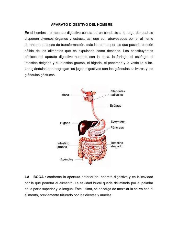 APARATO DIGESTIVO DEL HOMBRE<br />11106152361565En el hombre , el aparato digestivo consta de u...