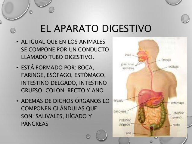 Stock Photography Female Anatomy D Rendered Illustration Image30724402 as well Intestinal in addition Royalty Free Stock Images Intestine Drawing Human Image36379149 furthermore Lipo 6 Black Nutrex 15512 also Expocision Aparato Digestivo Humano. on colon digestion
