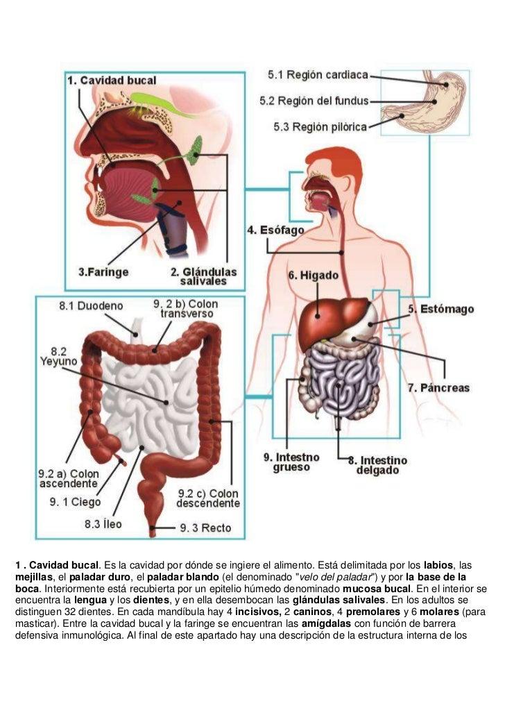 Aparato digestivo resumen