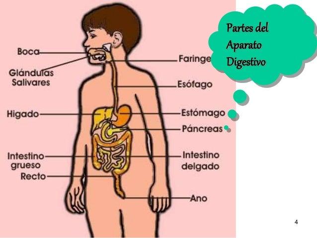 Aparato digestivo secundaria