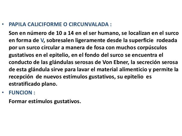 • PAPILA CALICIFORME O CIRCUNVALADA :  Son en número de 10 a 14 en el ser humano, se localizan en el surco  en forma de V,...