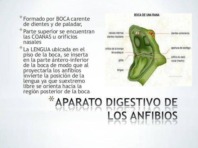 Aparato digestivo de los anfibios