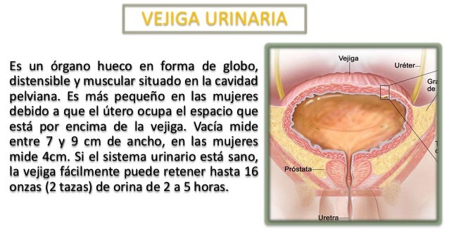 Morfofisiología - Aparato Genito Urinario Masculino