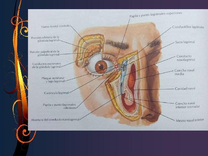 EmbriologíaYemas solidas                              Forman                     Se ramifican ydel ectodermo              ...
