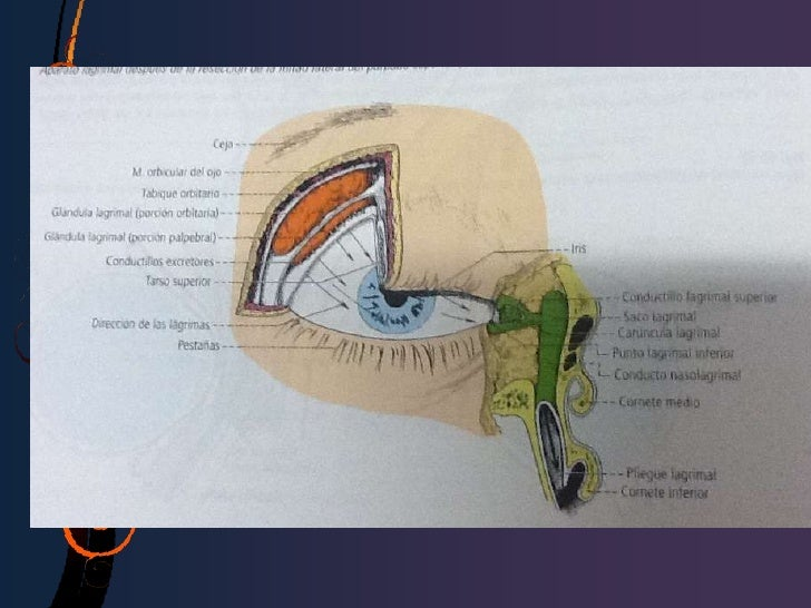 Glándulas lagrimales  accesorias:• 3)glándula de  Krause,• 4)glándula de  Wolfring.• 5)células  caliciformes,• 6)glándulas...