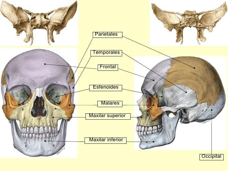 Frontal Maxilar inferior Maxilar superior Malares Temporales Parietales Occipital Esfenoides