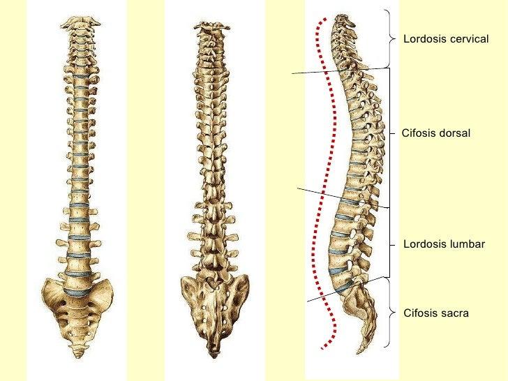 Lordosis cervical Cifosis dorsal Lordosis lumbar Cifosis sacra