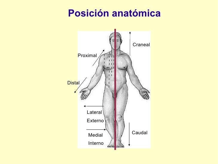 Posición anatómica Craneal Caudal Medial Interno Lateral Externo Distal Proximal