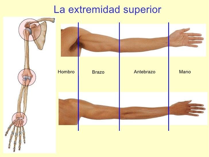La extremidad superior Hombro Brazo Antebrazo Mano