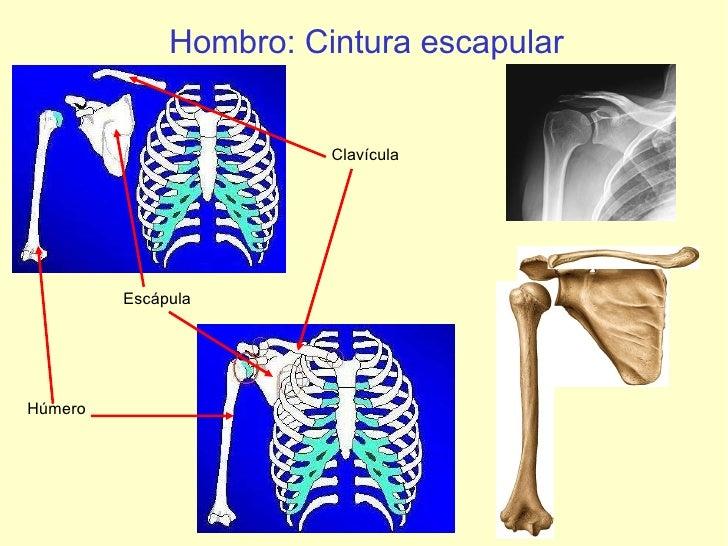 Hombro: Cintura escapular Húmero Escápula Clavícula