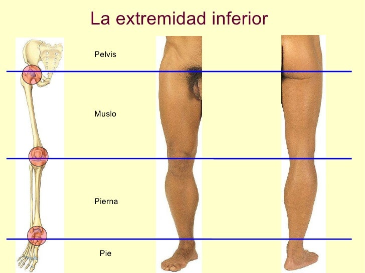 La extremidad inferior Muslo Pelvis Pierna Pie