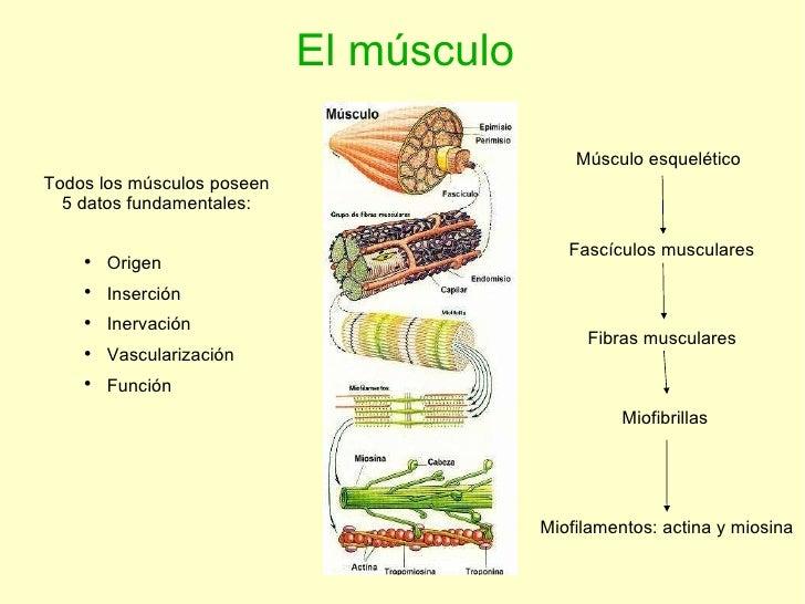El músculo Todos los músculos poseen 5 datos fundamentales: <ul><li>Origen </li></ul><ul><li>Inserción </li></ul><ul><li>I...