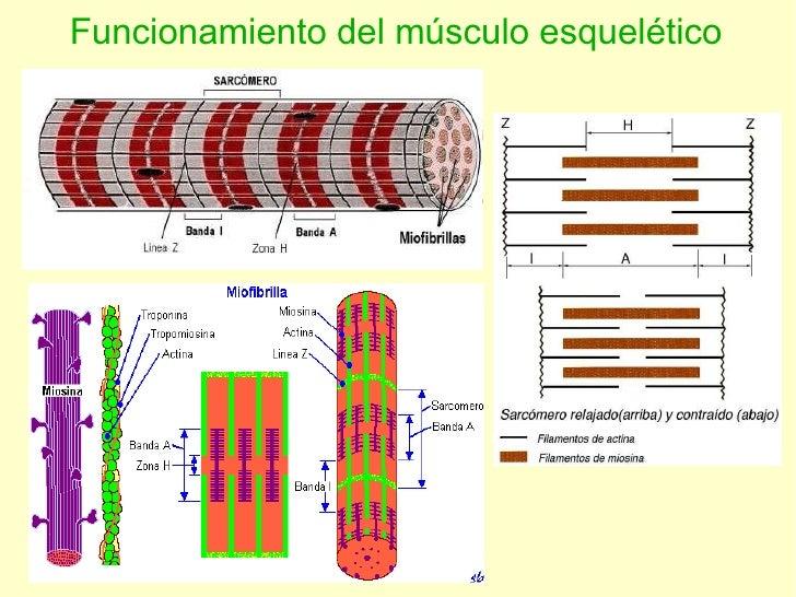 Funcionamiento del músculo esquelético