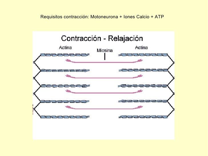 Requisitos contracción: Motoneurona + Iones Calcio + ATP