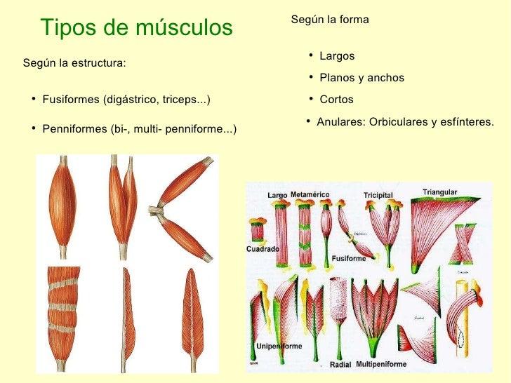 Tipos de músculos Según la estructura: <ul><li>Fusiformes (digástrico, triceps...) </li></ul><ul><li>Penniformes (bi-, mul...
