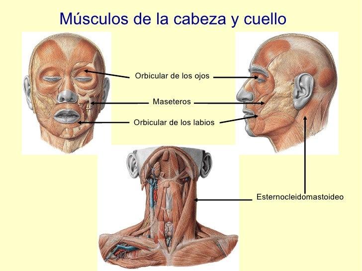 Músculos de la cabeza y cuello Orbicular de los ojos Orbicular de los labios Maseteros Esternocleidomastoideo