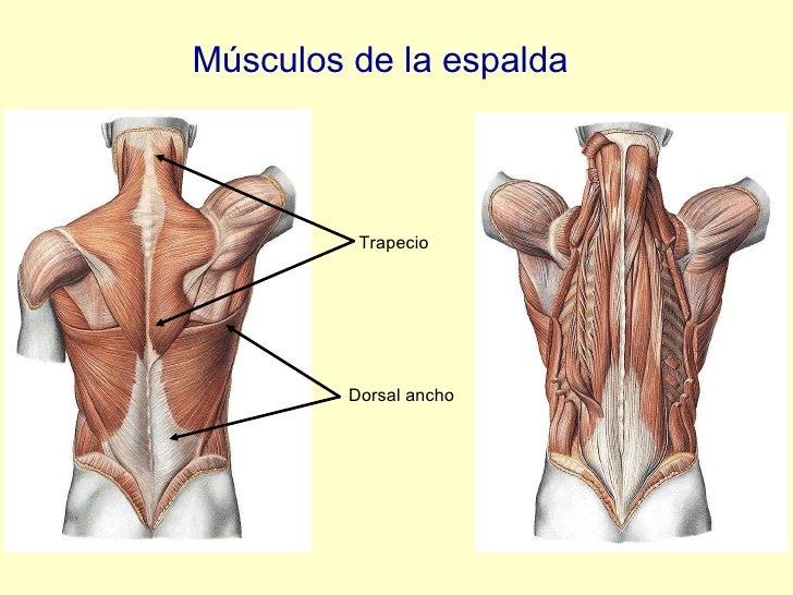 Músculos de la espalda Trapecio Dorsal ancho