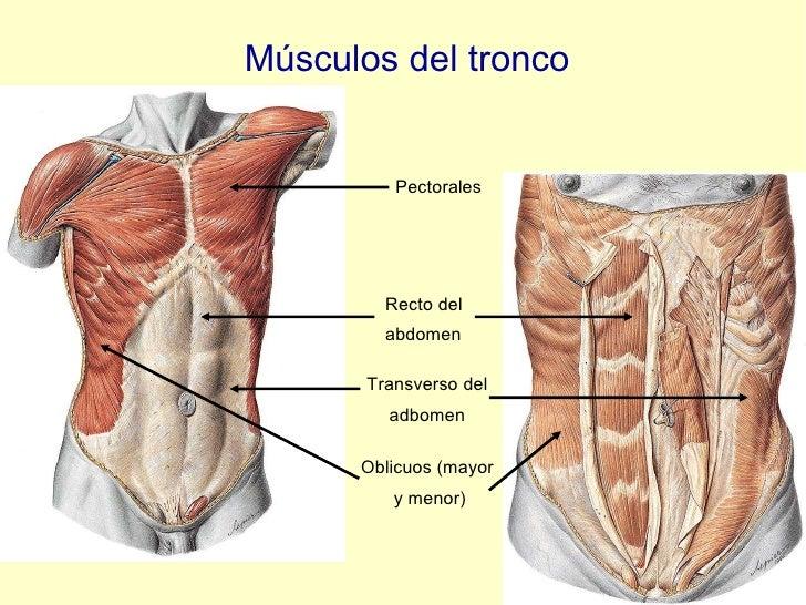 Músculos del tronco Pectorales Transverso del adbomen Oblicuos (mayor  y menor) Recto del  abdomen