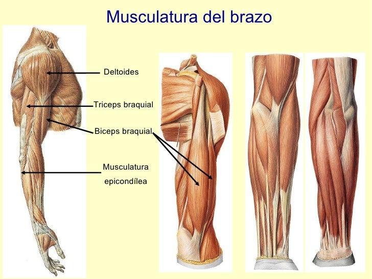 Musculatura del brazo Deltoides Triceps braquial Biceps braquial Musculatura epicondílea