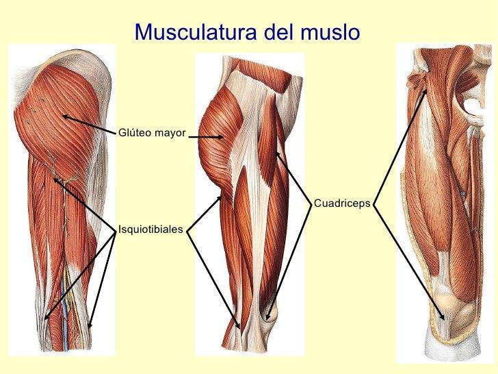 Musculatura del muslo Glúteo mayor Isquiotibiales Cuadriceps