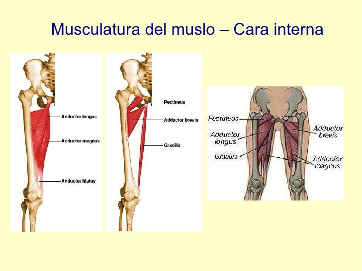 Musculatura del muslo – Cara interna