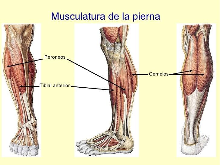 Musculatura de la pierna Peroneos Tibial anterior Gemelos