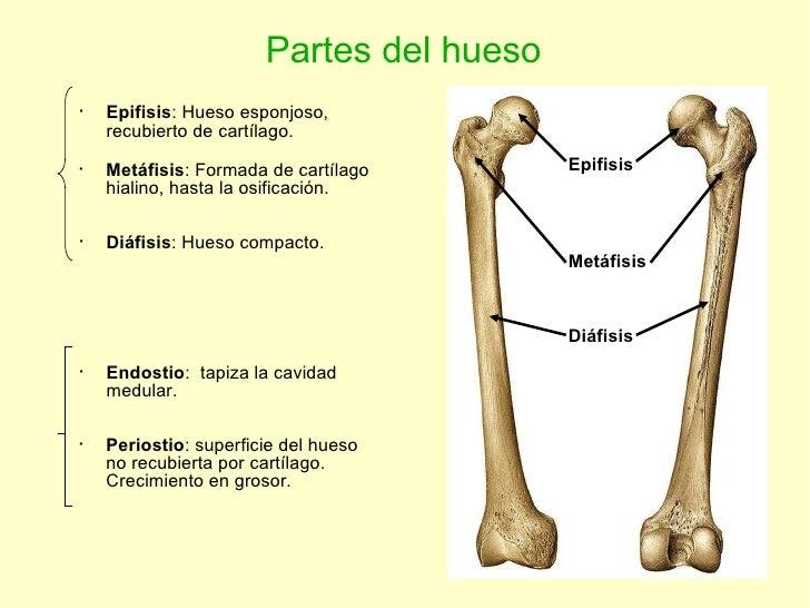 Partes del hueso Epifisis Metáfisis Diáfisis <ul><li>Epifisis : Hueso esponjoso, recubierto de cartílago. </li></ul><ul><l...