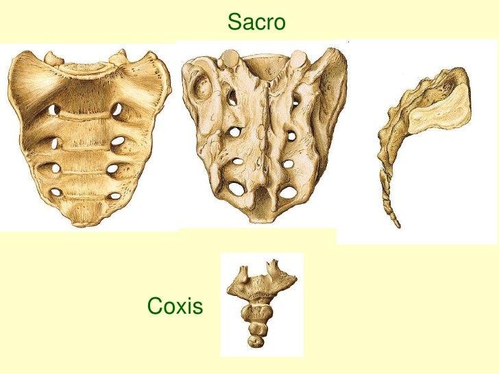 Dorable Sacro Y El Coxis Imágenes - Anatomía de Las Imágenesdel ...