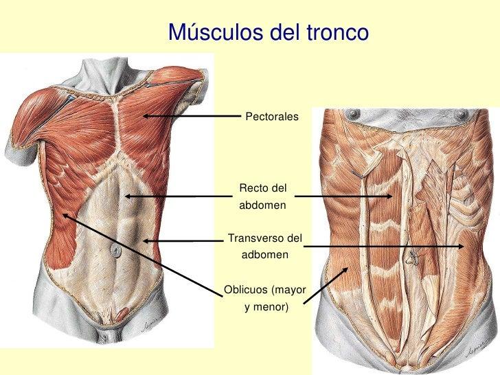 Magnífico Oblicuo Abdominal Externo Modelo - Anatomía de Las ...