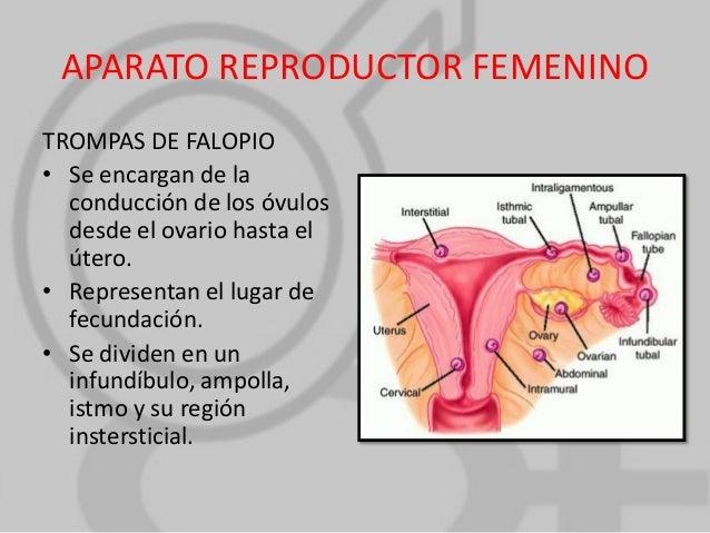 ANATOMIA Y FISIOLOGIA SABATINO: Aparato Reproductor