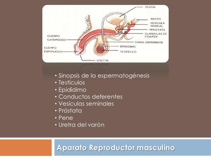 • Sinopsis de la espermatogénesis• Testículos• Epidídimo• Conductos deferentes• Vesículas seminales• Próstata• Pene• Uretr...