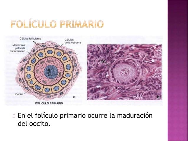 Aumento del volumen y de la presión del liquido folicular. Proteólisis enzimática de la pared folicular por plasminógeno a...
