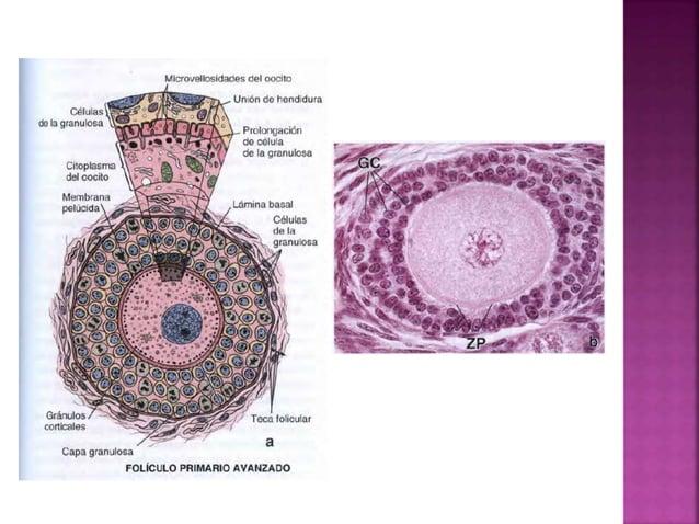 Después de la ovulación el folículo colapsado se reorganiza en un cuerpo lúteo. Compuesta por las células de la granulosa ...