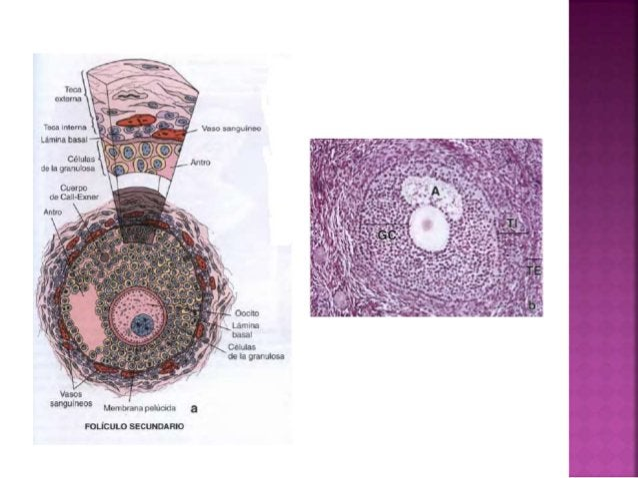 Se forma después de la fecundación y la implantación. La existencia y la función del cuerpo lúteo dependen de una combinac...