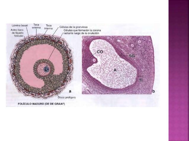 Los espermatozoides maduros adquieren la capacidad de fecundar el oocito. Hiperactivación del espermatozoide. Modificacion...