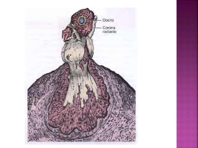 Los ovarios están inervados por el plexo ovárico autónomo. Recibe fibras simpaticas y parasimpaticas. Las fibras nerviosas...