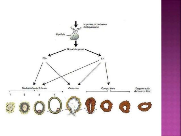 Ubicado en la pelvis, entre la vejiga y el recto. Pesa de 30 a 40 g, mide 7,5 cm de largo, 5 cm ancho superior y 2,5 cm de...
