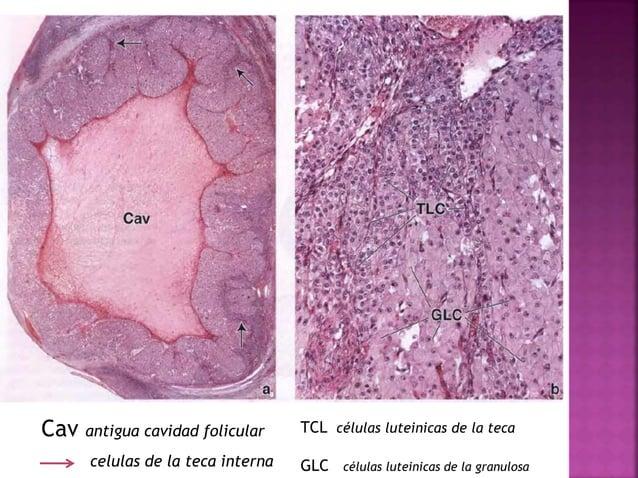 El feto en desarrollo es mantenido por la placenta, que deriva de tejidos fetales y maternos. Sistema circulatorio uteropl...