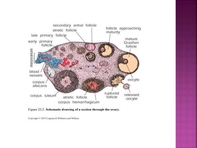 En el folículo primario ocurre la maduración del oocito.