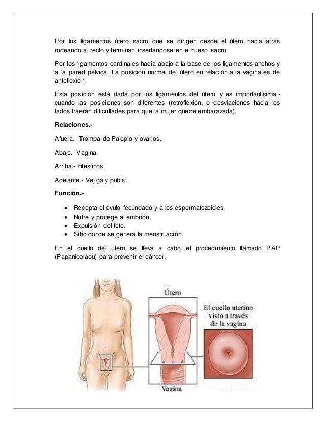 Hermosa Anatomía Normal Del útero Bandera - Imágenes de Anatomía ...