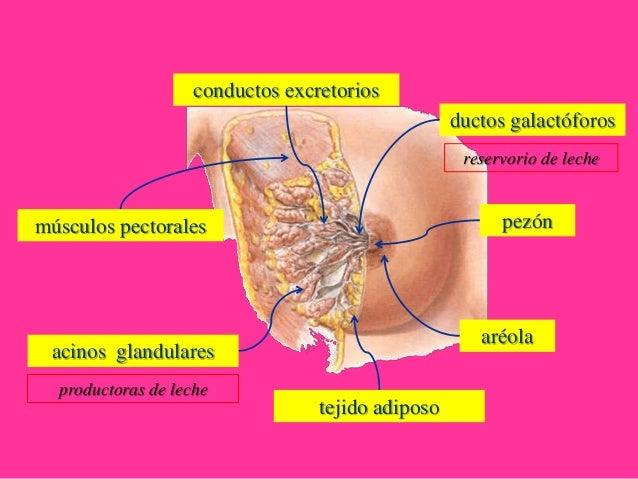 MI BLOC, QUE NO BLOG - Página 22 Aparato-reproductor-femenino-6-638