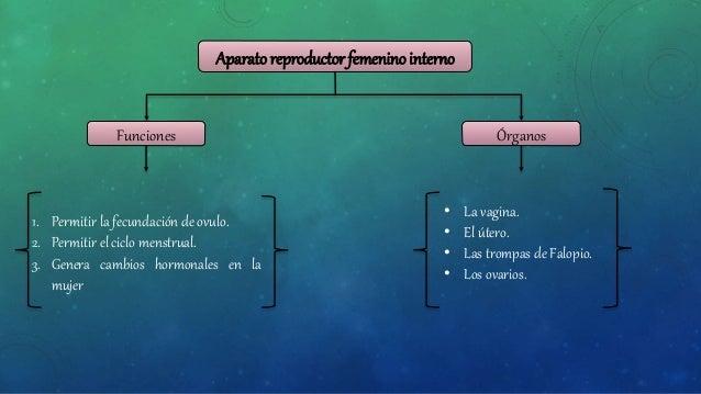 Aparato Reproductor Femenino Interno Y Externo
