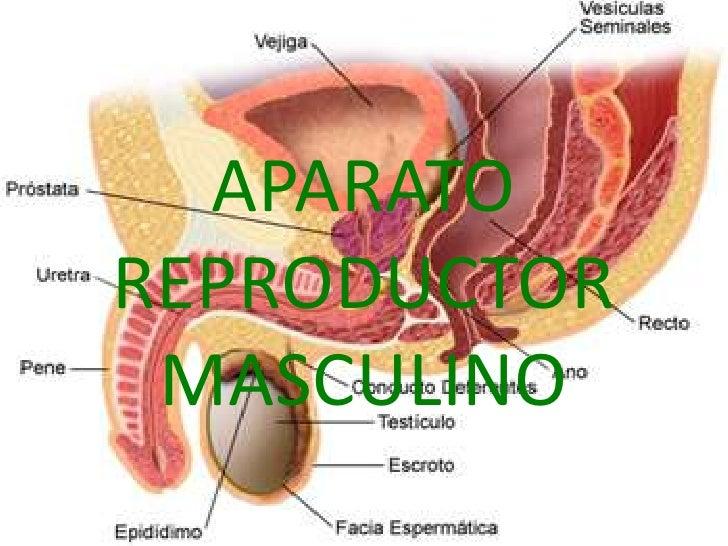 APARATOREPRODUCTOR MASCULINO