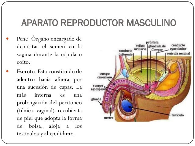 ANATOMIA Y FISIOLOGIA NOCTURNO: Anatomia del Aparato Reproductor Masc…