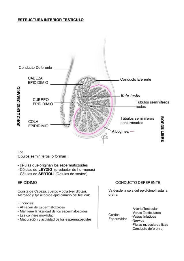 Aparato reproductor masculino ( Veterinaria )