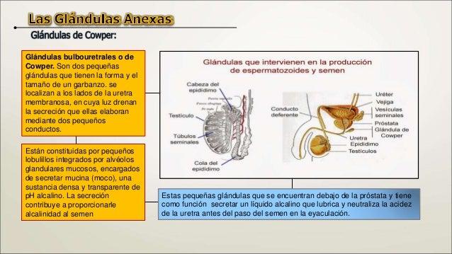 El cuerpo del pene está formado por tres masas de tejido eréctil (conjunto de vasos sanguíneos dispuestos en forma de mall...