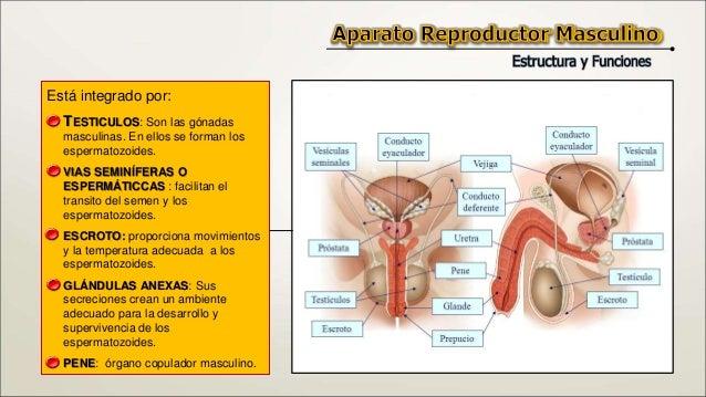 Aparato Reproductor Masculino Slide 3