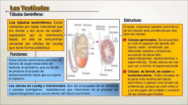 Es el proceso de transformación de células primitivas e inmaduras del epitelio seminífero, las espermatogonias (células di...