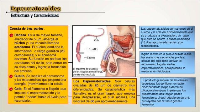 El escroto o saco escrotal. Está constituido por una serie de capas que cubren y alojan a los testículos y vías excretoras...
