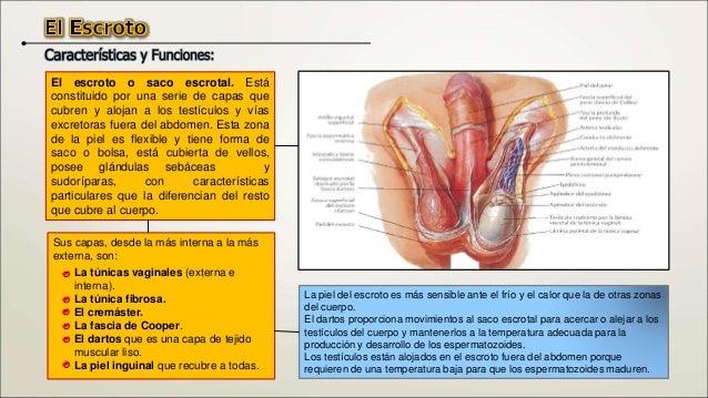 Las vías seminíferas. Se inician en los tubulillos rectos, que se unen (anastomosan) y forman la red testicular o rete tes...